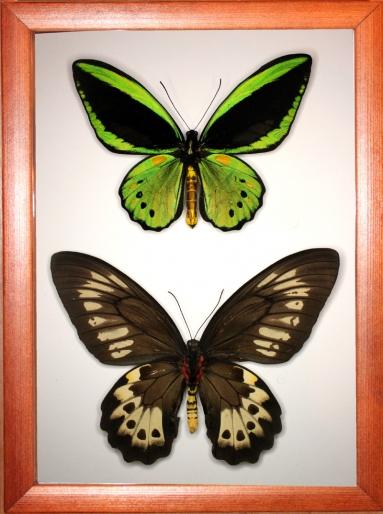 Ornithoptera priamus (самец и самка)