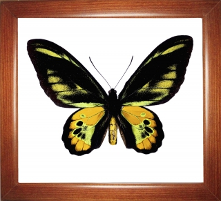 Ornithoptera rothschildi