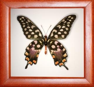 Papilio antenor