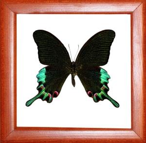 Papilio chikae