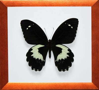 Papilio gambrisius