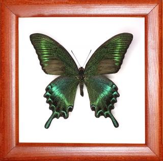 Papilio maakii
