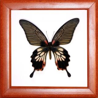 Papilio memnon (самка)