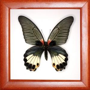 Papilio memnon (самка, бесхвостая форма)