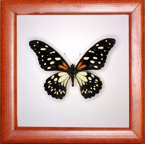 Papilio rex
