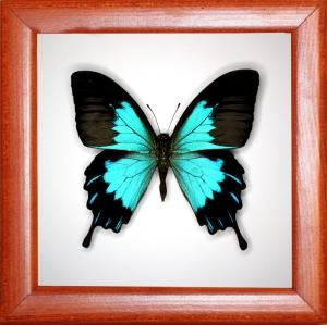 Papilio ulysses telegonus