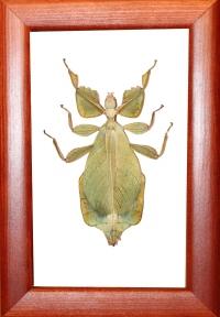 Палочник лист Phyllium celebicum