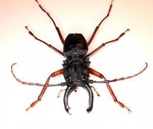 Prionocalus cacicus