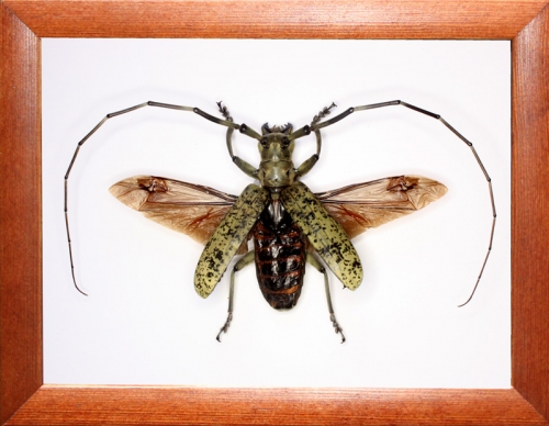 Жук усач Pseudomeges marmoratus