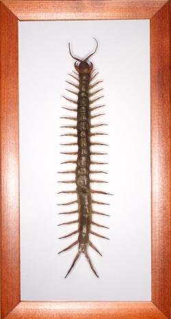 Сколопендра Scolopendra sp.