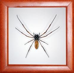 Паук Nephila sp.