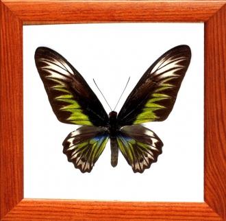 Trogonoptera brookiana самка