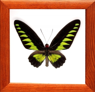 Trogonoptera brookiana самец