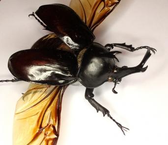 Носорог Trypoxylus dichotomus