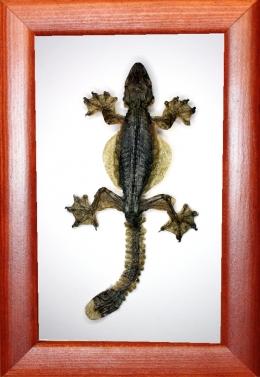 Ящерица летающий геккон