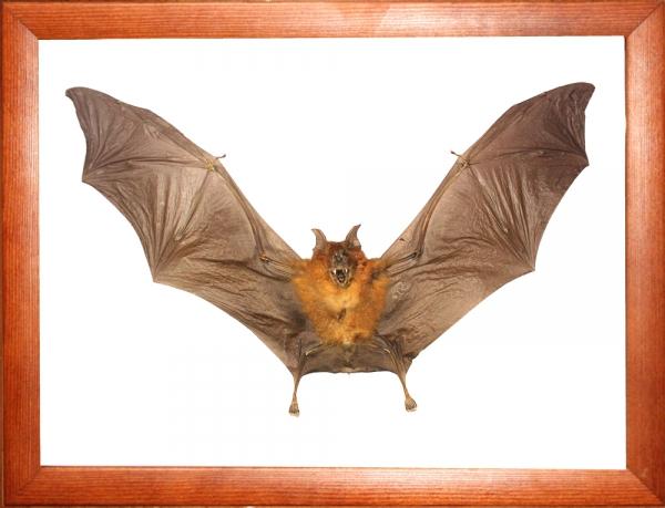 Летучая мышь в рамке (Hipposideros bicolor)