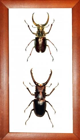 Коллекция жуков рогачей в рамке
