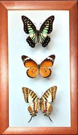 Коллекция бабочек №3