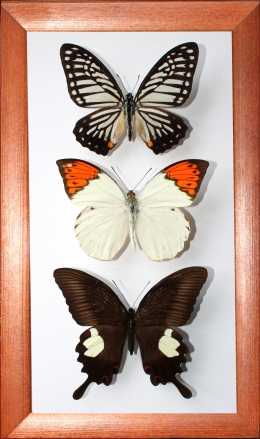 Коллекция бабочек №2