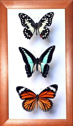 Коллекция бабочек №1